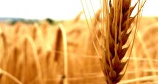 فواید گندم برای سلامتی